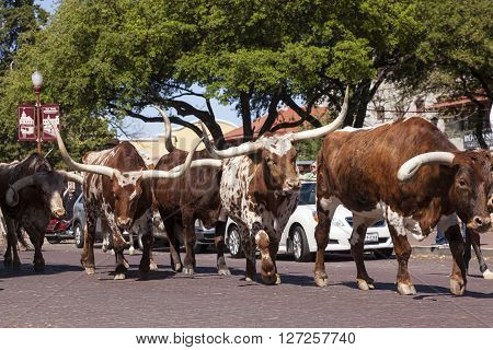 FORT WORTH TX USA - APR 6: Longhorn cattle in the Fort Worth Stockyards historic district. April 6 2016 in Fort Worth Texas USA
