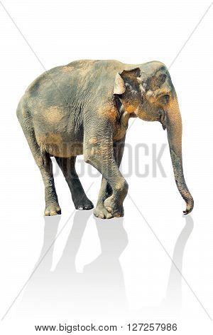 Indian walking elephant isolated on white background.