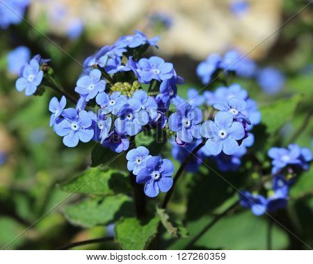 The bright blue flowers of Brunnera macrophylla also known as Siberian Bugloss, Great Forget-me-not, or Heartleaf.