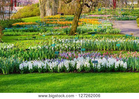 Lisse, Netherlands - April 4, 2016: Colorful flowers blossom in dutch spring garden Keukenhof, Lisse, Netherlands