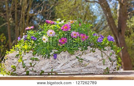 Pink Daisies In A Wooden Basket.
