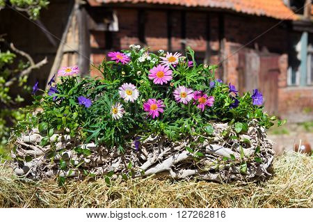 Pink Daisies In A Container