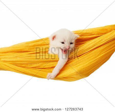 White kitten in a yellow hammock growling. Cute white kitten in a hammock having rest, isolated at white. Adorable pet. Small heartwarming kitten. Little cat. Animal isolated. High key