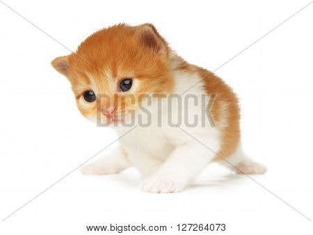 Cute orange red and white kitten. Cute serious kitten 2 weeks old, creeping isolated at white background. Adorable pet. Small heartwarming kitten. Little cat. Closeup isolated. High key