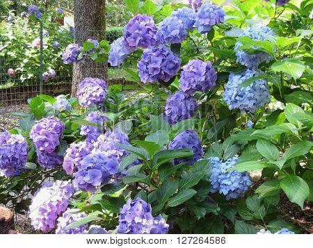 Purple and blue Hydrangea flowers (Hydrangea macrophylla) in a garden in summertime