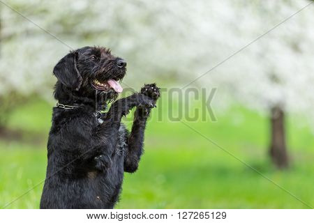 Beautiful black dog posing at spring tree in blossom, close-up.