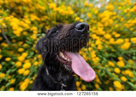 Beautiful black dog posing at yellow bush in blossom, close-up.