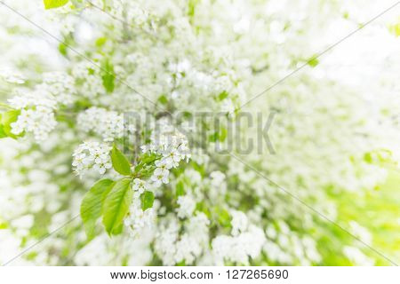 Spring background with white tree in blossom, close-up.