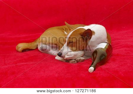 Boring life of Bohemian dog (basenji) .