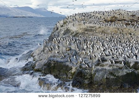 Colony of King Cormorants and Sea Lions on Ilha dos Passaros located on the Beagle Channel, Tierra Del Fuego, Argentina poster