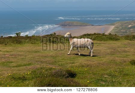 View from the top of Rhossili Down to Burry Holms and Hillend The Gower Wales UK with a sheep