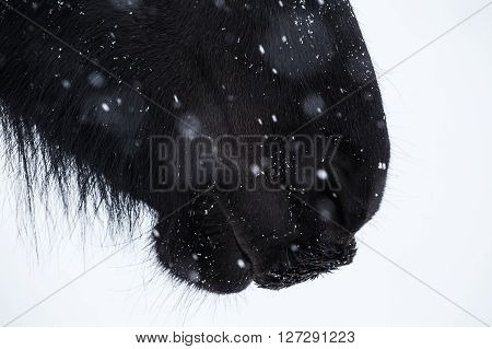Nostrils of friesian horse and snowflake close up