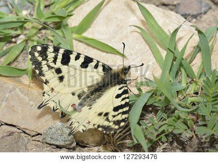 Eastern Festoon Butterfly - Allancastria (Zerynthia) cerisyi Endemic ssp. cypria