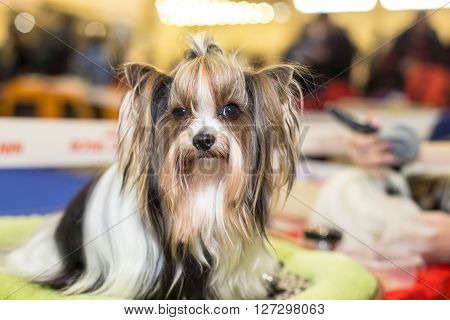 Well groomed Biewer Yorkshire terrier portrait - at the exhibition