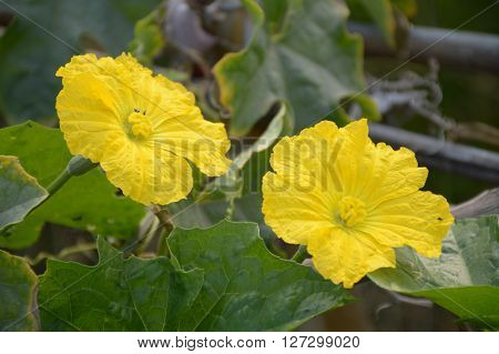 close up yellow Sponge gourd flower in nature garden ( Luffa cylindrica )