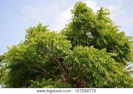 fresh green Neem plan tree in garden , Azadirachta indica poster