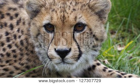 Close up of a young cheeta in the grass