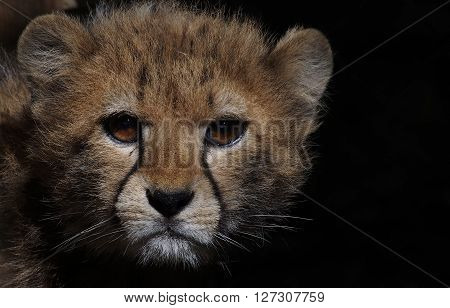 Close up of a young female cheetah