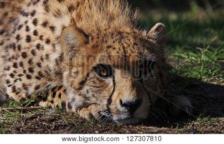 Close up of a cheetah lying down