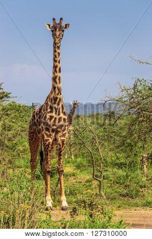 Giraffe in the Maasai Mara national park (Kenya)