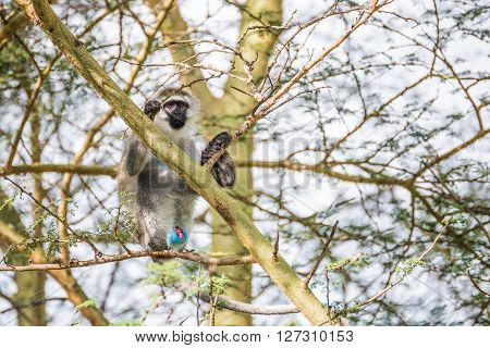 Young vervet monkey on a tree demonstrating its colourful genitals in one of the national parks of Kenya