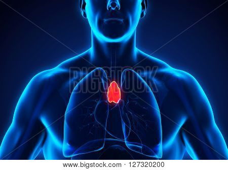 Human Thymus Anatomy Illustration . 3D render