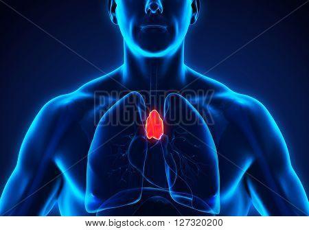 Human Thymus Anatomy Illustration . 3D render