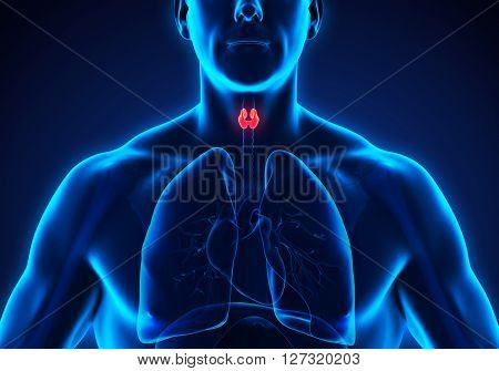 Human Thyroid Gland Anatomy Illustration. 3D render