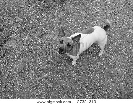 Domestic dog aka Canis lupus familiaris mammal animal seen from above in backyard with gravel background with copy space in black and white