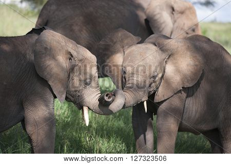 Baby Elephant playng travel in Tanzania in Afrika