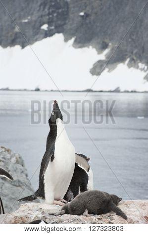 Adelie Penguins on the nest in Antarcdtica