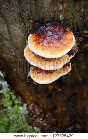 Armillaria Mushrooms On A Tree Stump In The Forest