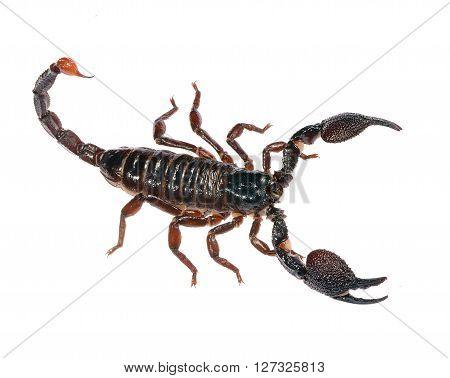 Large black scorpion Heterometrus laoticus isolated over white
