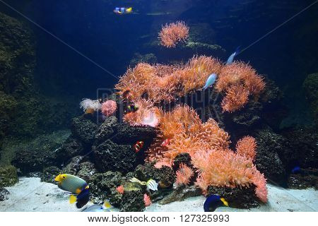 Exotic Marine Aquarium Coral Reef Environment With Pink Actinia And Tropical Fish