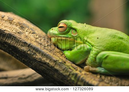 Australian Green Tree Frog Litoria Caerulea In A Natural Environment Resting On A Tree