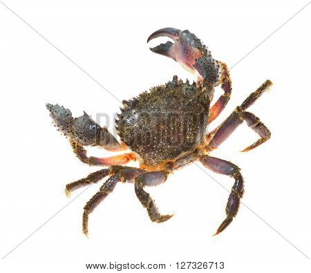 Colorful stone or warty crab Eriphia verrucosa isolated over white