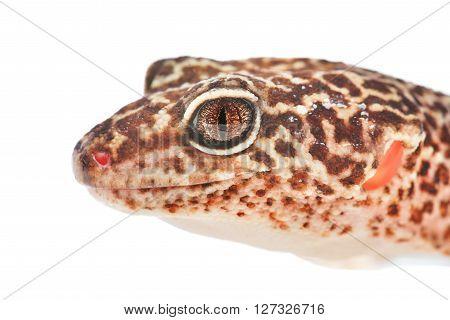 Leopard Gecko Eublepharis Macularius Isolated On White