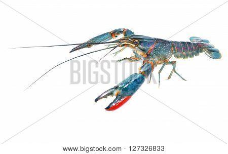Australian blue crayfish Cherax quadricarinatus isolated over white