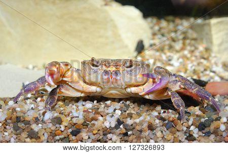 River crab Potamon sp. in aquarium. Purple morph.