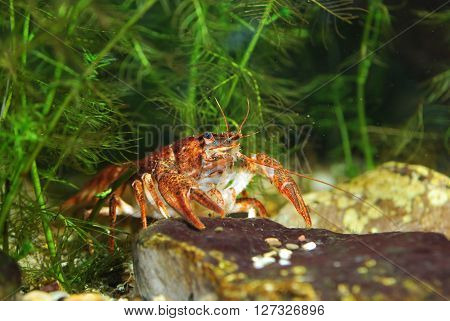 Narrow-clawed crayfish Astacus leptodactylus close-up. Red color morph