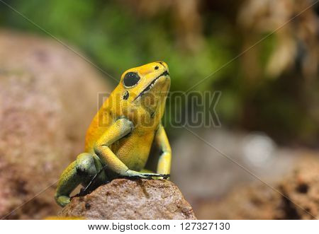 Golden Poison Arrow Frog (phyllobates Terribilis) In Natural Rainforest Environment. Colourful Brigh