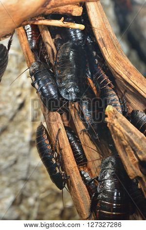 Black Giant Madagascar Hissing Cockroach Group In Natural Environment. Princisia Vanwaerebeki.
