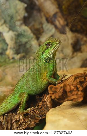 Asian Water Dragon (physignathus Cocincinus) In Natural Environment. Colourful Tropical Green Lizard