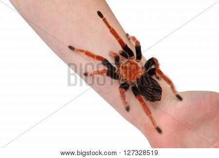 Birdeater Tarantula Spider Brachypelma Boehmei Held In Hand Isolated Over White. Bright Red Colourfu