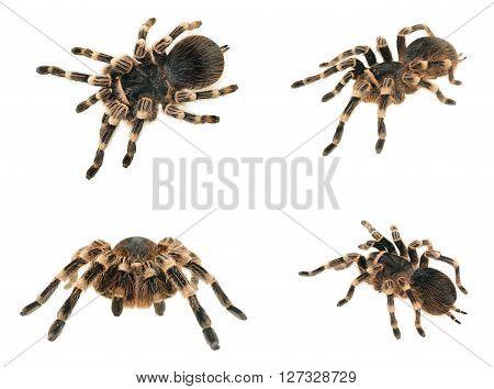Black tarantula Grammostola pulchra isolated over white