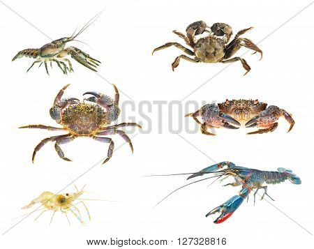 Crustaceans Compilation. Stone Or Warty Crab And Chinese Mitten Crab Eriocheir Sinensis, Baltic Shri