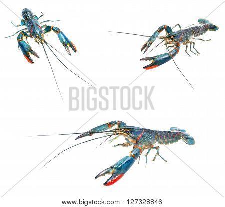 Australian blue crayfish Cherax quadricarinatus isolated over white compilation
