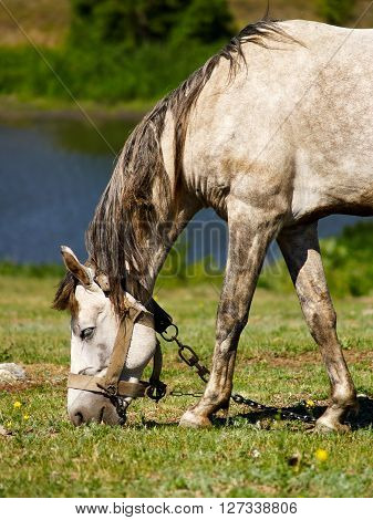 Tethered pale horse grazing on the meadow