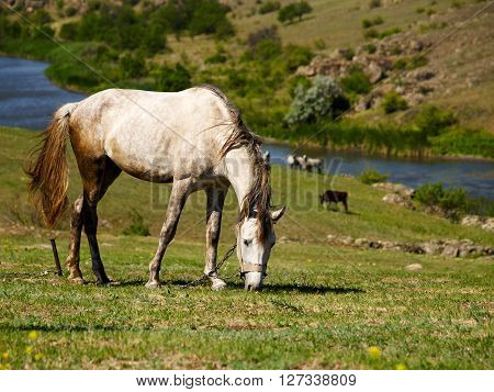 Tethered pale horse grazing on the meadow next to river