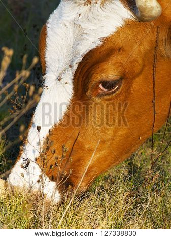 Cow chewing the grass on the meadow